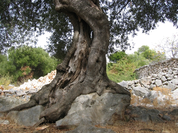 Ancient Olive tree_small