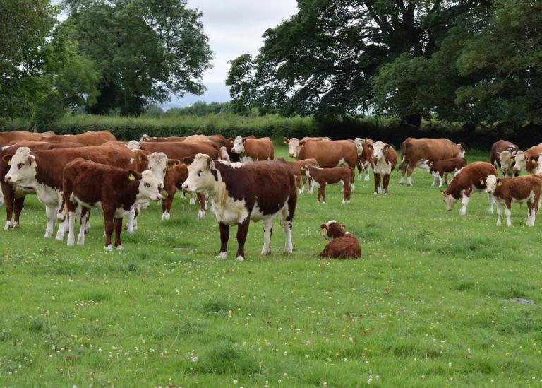 Hogans Herd